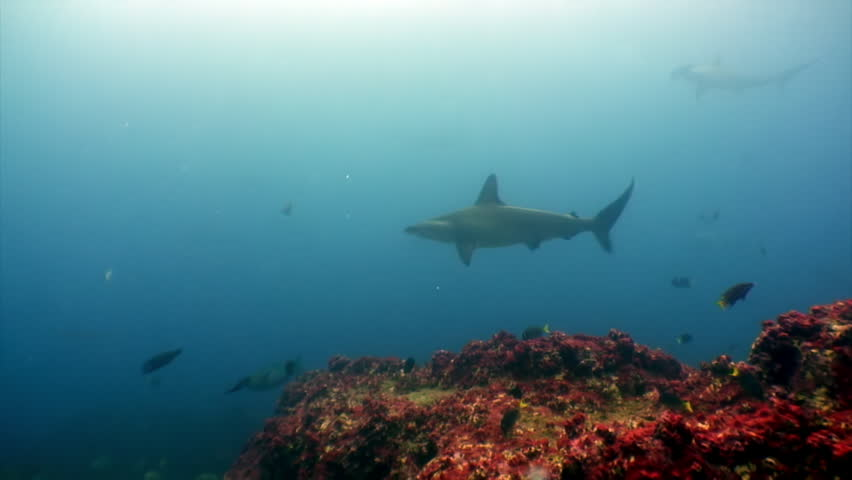 Hammerhead shark in shoal fish underwater lagoon of ocean Galapagos. Amazing life of tropical nature world in blue water. Scuba diving and dangerous extreme tourism. | Shutterstock HD Video #1014121436
