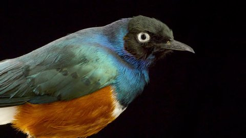 Rotating taxidermied superb starling (Lamprotornis superbus, formerly Spreo superbus) against a black background close up.