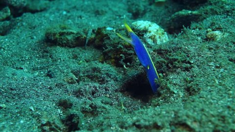 Blue ribbon eel in hole at Anilao in the Philippines.