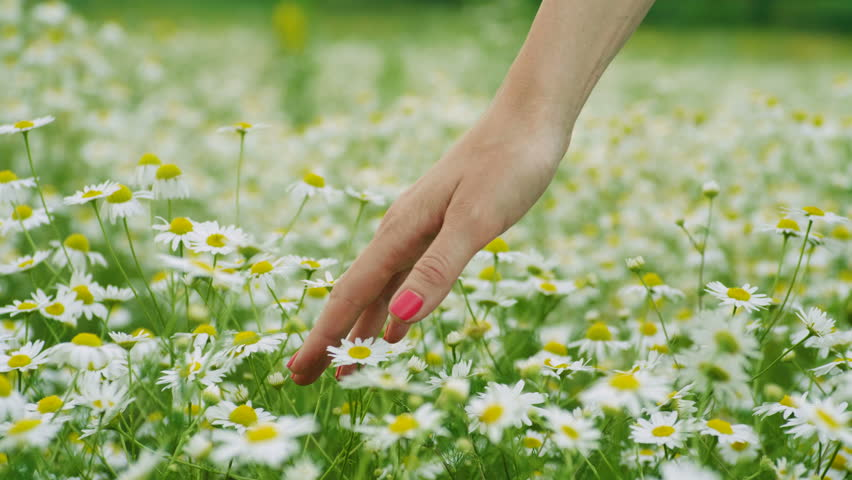 Wild flowers. Close-up shot of a woman running her hand through meadow with white daisies. 4K | Shutterstock HD Video #1014359876