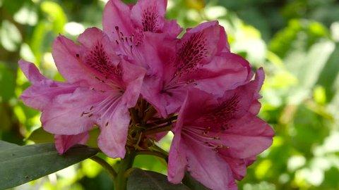Pink Geranium beautiful plant in a public garden. bud sways in the wind. 4K