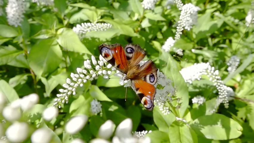 beautiful butterfly is resting on a white blooming shrub in sunny summer day in garden and flying off