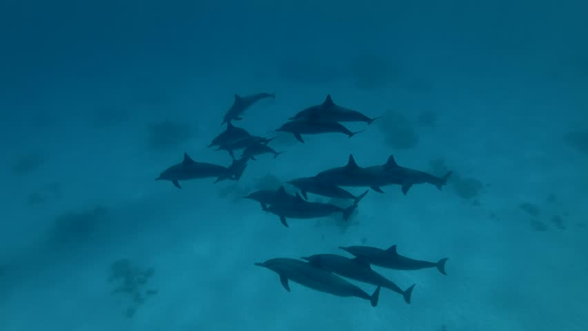 Freediver dive to deep and swim with a pod of Spinner Dolphins swims over the sandy bottom (High-angle shot, Underwater shot, 4K / 60fps)