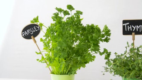 healthy eating, gardening and herbs concept - parsley, thyme and basil greens with name plates in pots on table