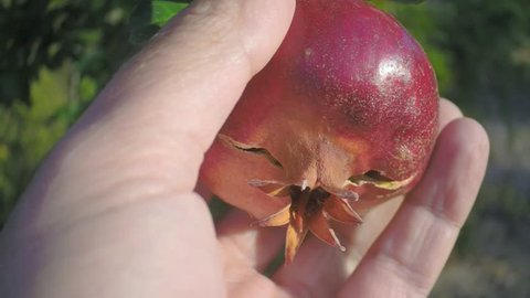 hand rips a ripe pomegranate from a tree in the garden