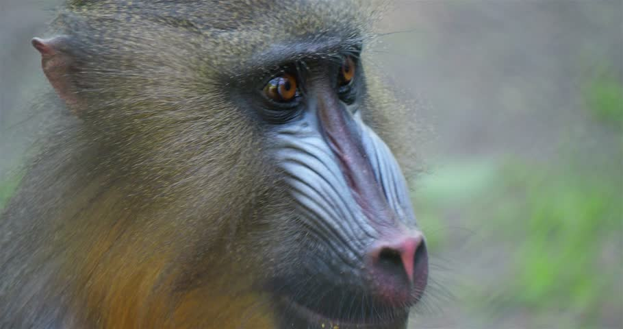 Young Mandrill (Mandrillus sphinx) close up portrait view with fascial expression