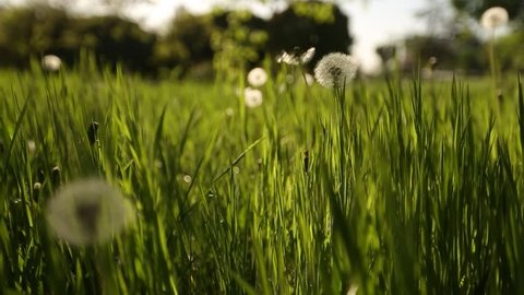 Camera moving forward through white dandelion flowers and fresh spring green grass on pretty meadow. Dandelion plant with medicinal effect. Summer concept. Low angle dolly steady shot.