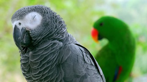 Portrait of Congo grey parrot and green eclectus sitting on branch together against tropics on background. Pair of adorable tropical birds reposing in jungle. Exotic avians in natural habitat.