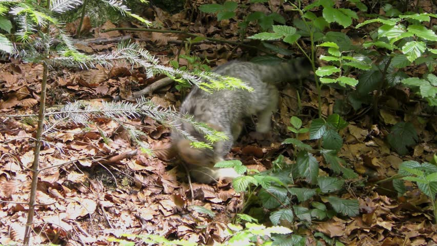 4K footage of a Wildcat (Felis silvestris) kitten in the Bayerischer Wald National Park in Bavaria, Germany. The wildcat is a small cat found throughout most of Africa, Europe, and southwest and centr