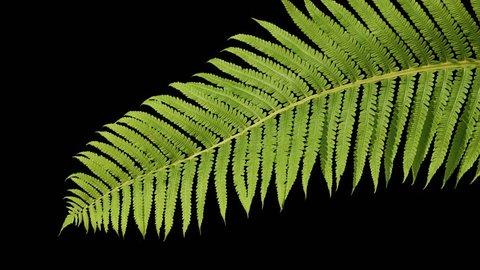 A beautiful green branch of a shrub sways in the wind on an isolated black screen background