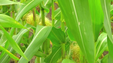 The corn blooms. Exit the stigma from under the wrapper cob.