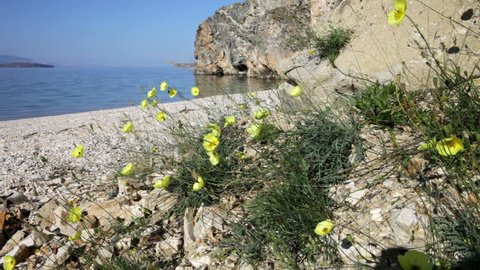 Lake Baikal. Beautiful yellow wild poppy flowers swaying in the wind on the shore of the island of Olkhon