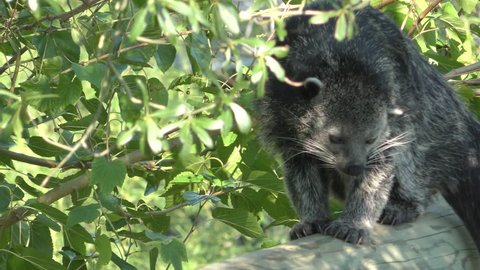 Binturong Adult Lone Walking in Summer