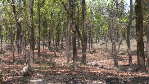 Gray Langur Monkey Several Monkeys Resting Dry Season Forest Trees in India