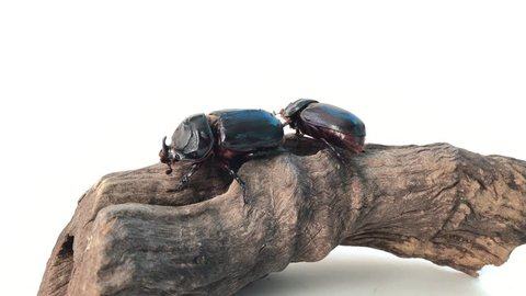 Coconut rhinoceros beetle on tree strumps at over white background. Indian rhinoceros beetle,or Asian rhinoceros beetle,or Oryctes rhinoceros.It is a very dangerous insect pest of palm and coconut.