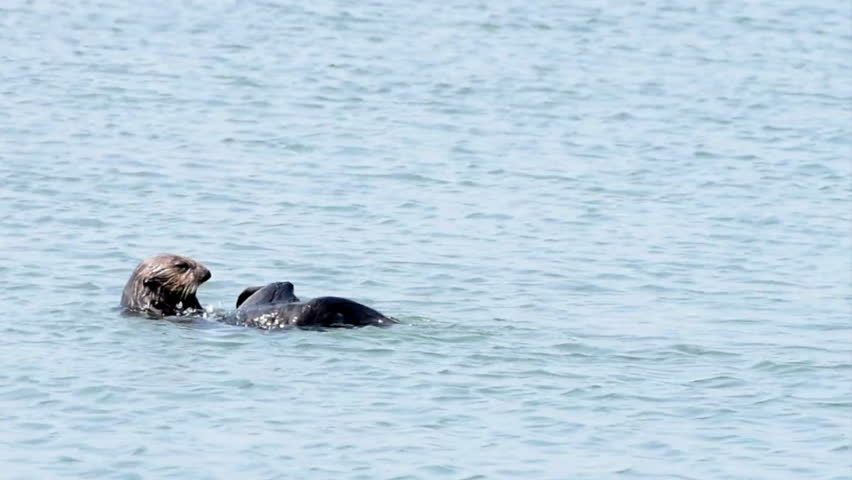 HD Video of one Sea Otter rolling repeatedly through the water, washing after eating.  #1014866686