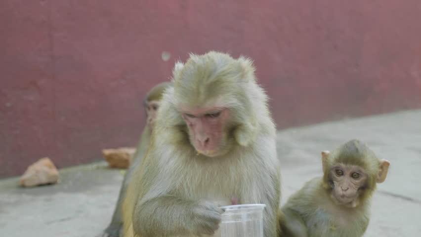 Monkey drinks sweet soda in Swayambhunath temple. Kathmandu, Nepal.