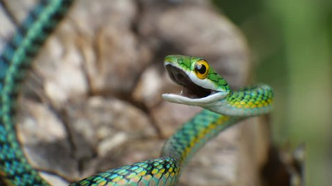 Parrot Snake (Leptophis ahaetulla) opens its mouth in a threat display. It is non-venomous so this behaviour is just a bluff. In the Ecuadorian Amazon.
