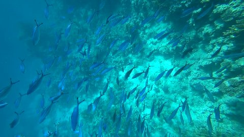 School of Yellowfin goatfish Mulloides vanicolensis