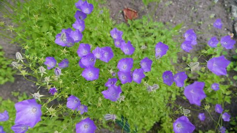 The top view of the tussock bellflower in the garden waving on the breeze of the wind