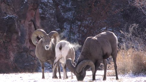 Bighorn Sheep Ram Ewe Male Female Adult Several Mating Sex Reproduction in Winter Sex Mounting Copulation in South Dakota