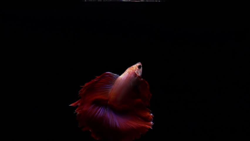 Vibrant red Siamese fighting fish Betta splendens, also known as Thai Fighting Fish or betta, is a species in the gourami family which is popular as an aquarium fish in super slow motion