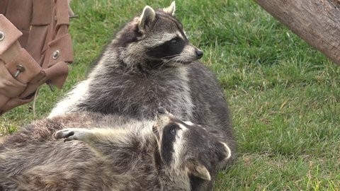 Raccoon Adult Pair Playing Play in Summer