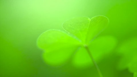Shamrock. St. Patrick's Day green leaves background. Patrick Day backdrop with growing shamrock leaf extreme close-up. Patrick Day pub party. Slow motion 4K UHD video