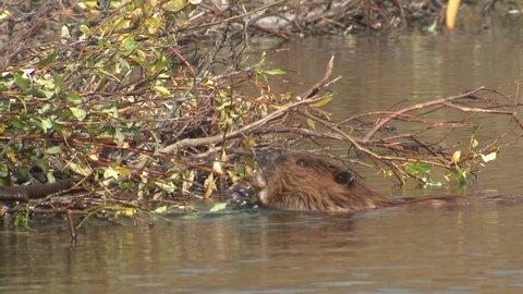 Beaver Several Working Carrying in Fall Dam Building in Alaska