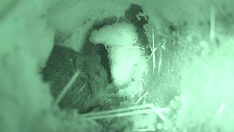 Prairie Vole Adult in Winter Snow Tunnel Under in South Dakota