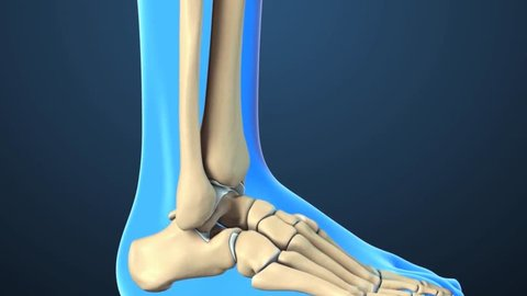 Animation of Ankle Joint Anatomy and Osteoarthritis.The ankle is where the long tibia and fibula bones of the shin meet with the foot?? talus bone.