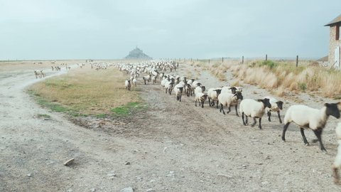 Sheep herd moving towards us
