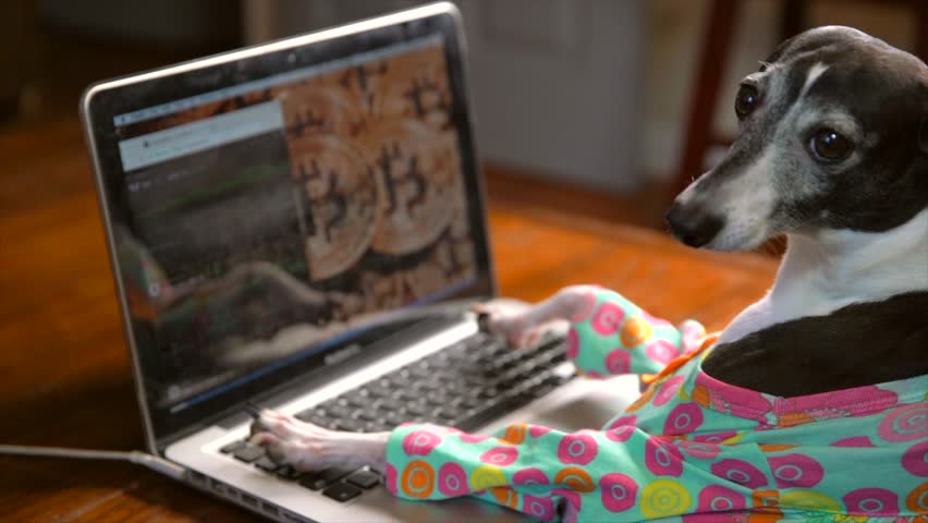 This slow motion video shows a side view of a cute italian greyhound in a colorful outfit typing frantically and working on a laptop computer with bitcoin on the computer background.
