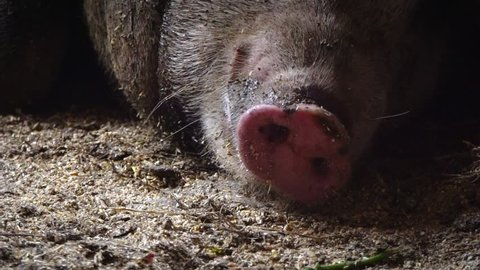 The pig breathes its snout, the pig's muzzle. Pig nose