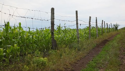 Stalk of the corn plant in a cornfield waving in the wind, fence and road. static shot.