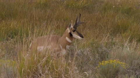 A pronghorn antelope walks through high grass in the Hart Mountain National Antelope Refuge in south eastern Oregon.