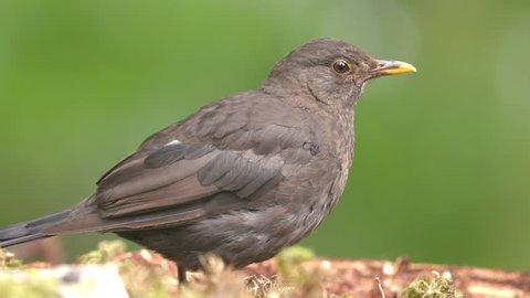blackbird female bird animal alerted watching chatter beak side view