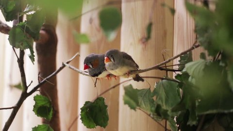 The couple of the small birds Zebra Finch