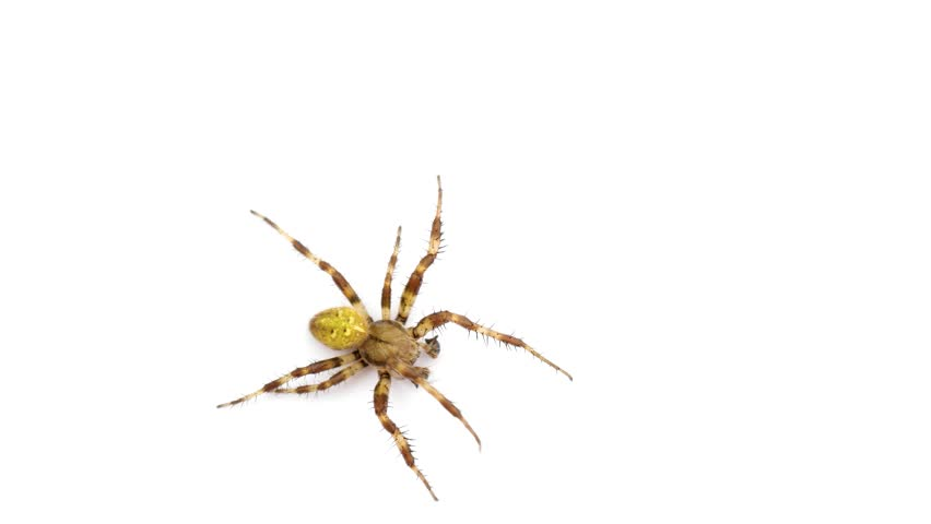 funny spider running around on white isolated screen background