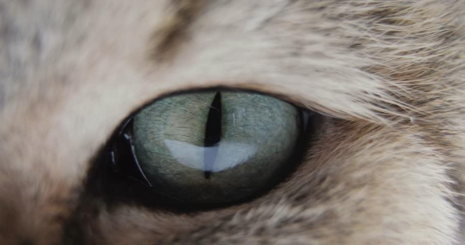Close-up Of Cat's blue green eye. golden British Cat. macro #1015389586