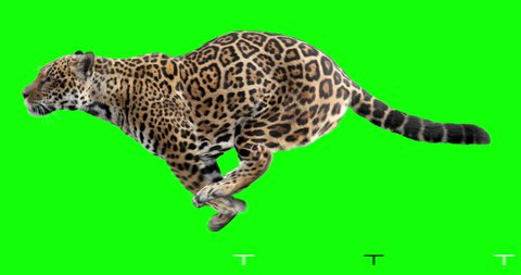 Jaguar running. Isolated and cyclic animation. Green Screen.