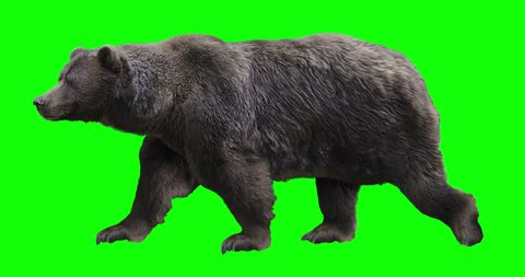Isolated brown grizzly bear cyclical walking. Can be used in real coloring, and as a silhouette. Green Screen.