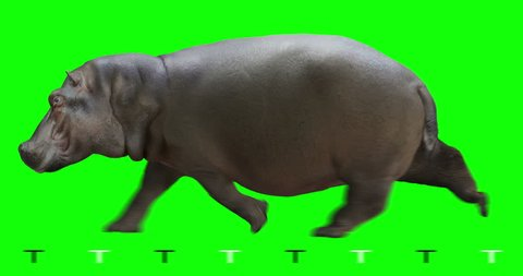 Hippo (hippopotamus) runs. Isolated and cyclic animation. Green Screen.