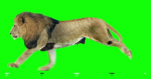 Isolated lion cyclical running. Can be used as a silhouette. Green Screen.