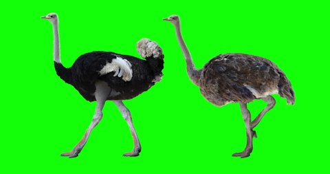Ostrich walking. Male and female. Isolated cyclical animation. Green Screen.