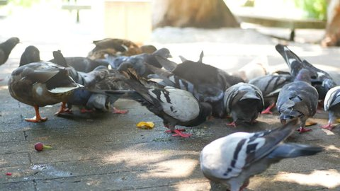 Flock of feral city pigeons fighting for food