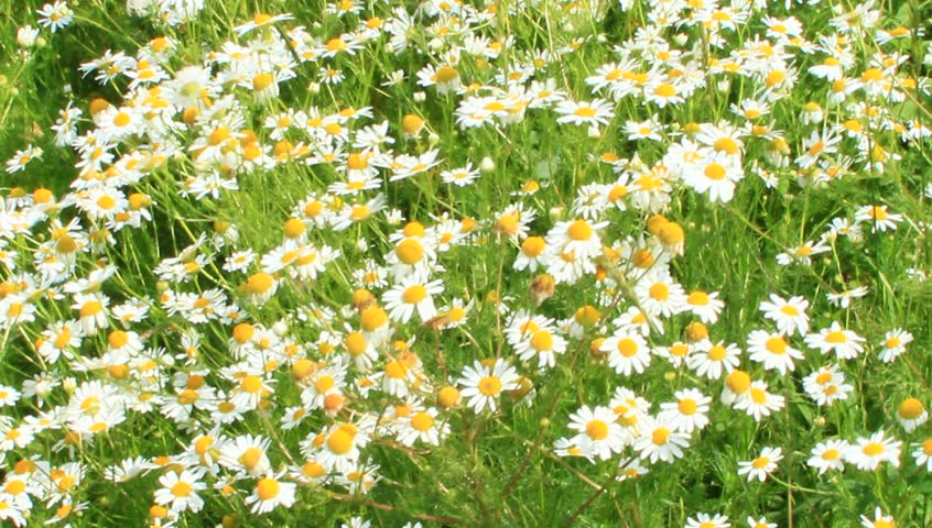 Flowers of white beautiful chamomiles blossoming in field. Summer chamomiles. Herbal flowers. Blooming chamomiles closeup. Beautiful summer field