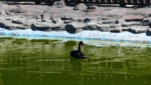Two black swans floating in the park, the black swan HD video,