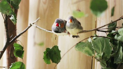 Two small birds Zebra Finch. One bird pecking of the other
