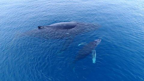 Mother Humpback Whale and Calf off the Coast of Maui, Hawaii